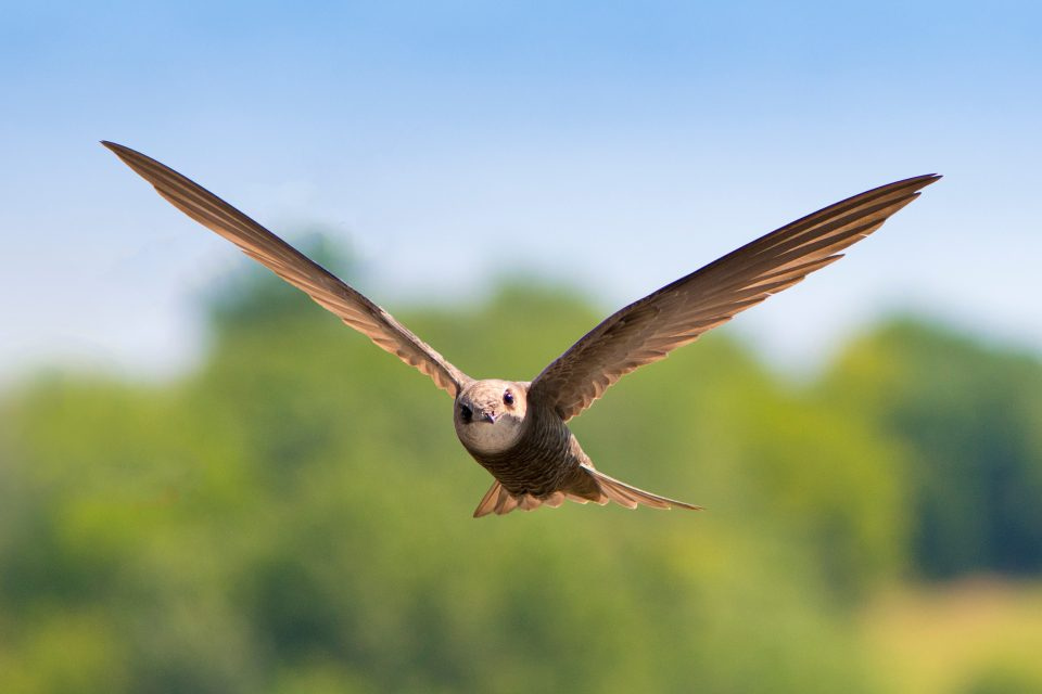 Common swifts travel more than 350 miles on an average day and have the capacity to travel even farther, according to a new study from Cell Press.