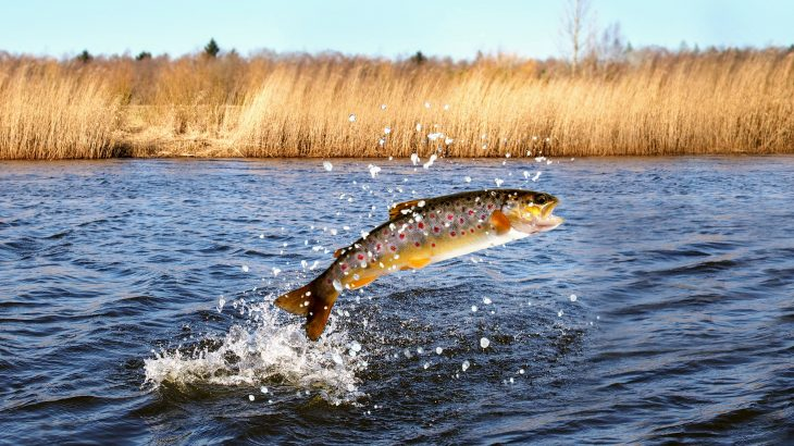 Wild Chinook salmon are more likely to be infected with Piscine orthoreovirus (PRV) the closer they are to salmon farms