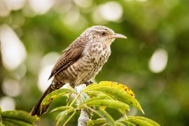 Researchers have discovered that duetting songbirds have a surprising strategy to stay in sync while they are performing