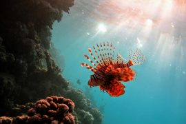 A new study has confirmed that lionfish have invaded the South Atlantic Ocean off the coast of Brazil