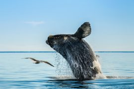 In a new study published by Cell Press, experts have discovered that North Atlantic right whales have become significantly shorter in the last three to four decades