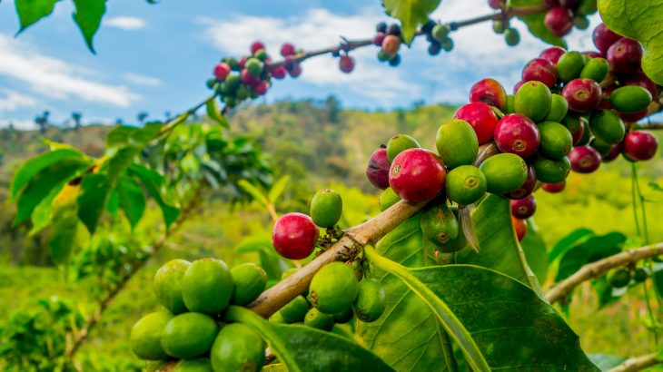 In a new study from Imperial College London, experts have brought a 70-year-old fungus back to life to understand more about coffee wilt disease