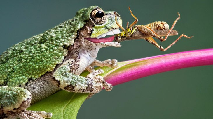 Frogs have lost teeth over 20 times during the course of their evolution, which is more than any other vertebrate group