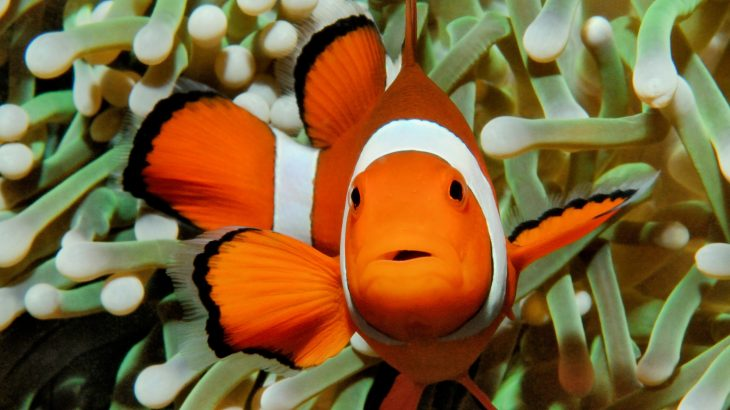 In a new study from the University of Melbourne, experts have discovered that young clownfish exposed to artificial light are struggling to survive