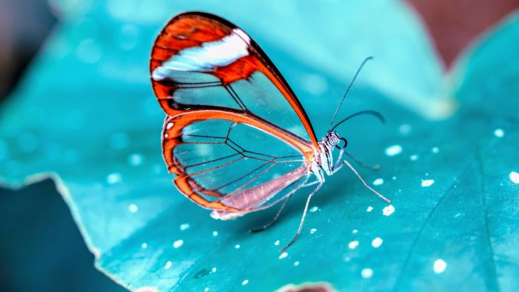 Species like the glasswing butterfly, Greta oto, have evolved transparent wings that make them nearly invisible to predators.