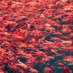 Krill populations in the Southern Ocean are projected to decline by about 30 percent this century, according to a new study from CU Boulder.
