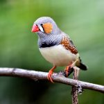 The new study has recreated a complex bird song complete with pitch, tone and volume from nothing more than the bird's brain activity.