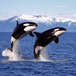 In a new study from the University of Exeter, drone footage has revealed that killer whales have complex social lives that center around close friendships.