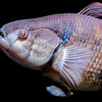 It was once thought the coelacanth - a strange lobe finned fish related to lungfish - was extinct.