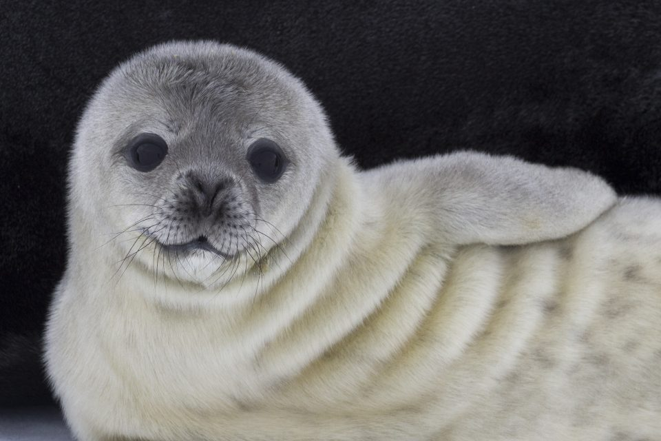 A new study from California Polytechnic State University suggests that Weddell seal pups may be one of the only types of seals that learn how to swim from their mothers.