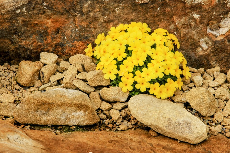 """This is why researchers were baffled about the long strands of flavonoid """"wool"""" coming from inside the cells of an alpine cushion plant with pretty yellow flowers known as Dionysia tapetodes."""
