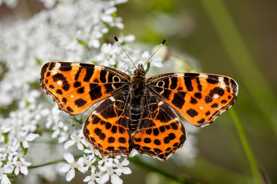 A new study from the University of Reading reveals that the Painted Lady butterfly embarks on the longest known migration of any insect.