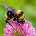 The experts report that bumblebees may use the humidity of a flower to tell them about the presence of nectar.