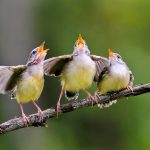 In a new study from McGill University, researchers have found that the speech patterns of songbirds are similar to those of humans.