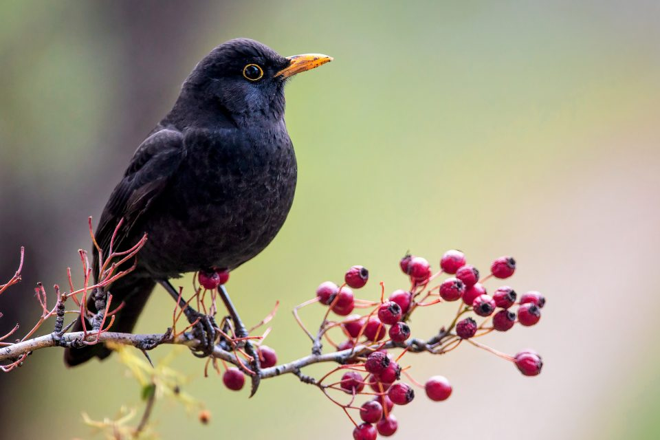 In a new study led by the University of Exeter, researchers have found that many migratory birds are moving plants in the wrong direction through seed dispersal.