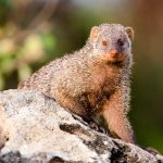 A new study from the University of Exeter demonstrates that synchronous births among banded mongooses has supported the evolution of a fair society