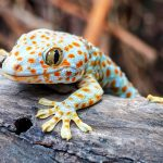 In a new study from UC Riverside, experts have discovered that geckos are still successful hunters even after they have lost their tails.