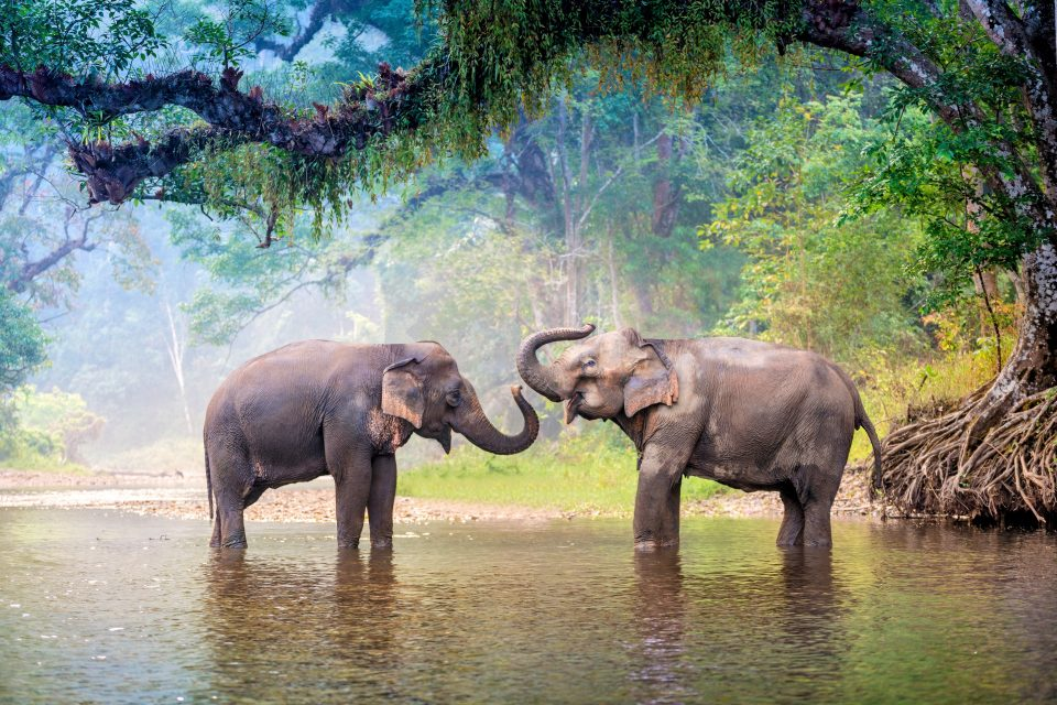 Large vocal folds such as those found in Asian elephants set an upper limit to the fundamental frequency of sounds produced by them.