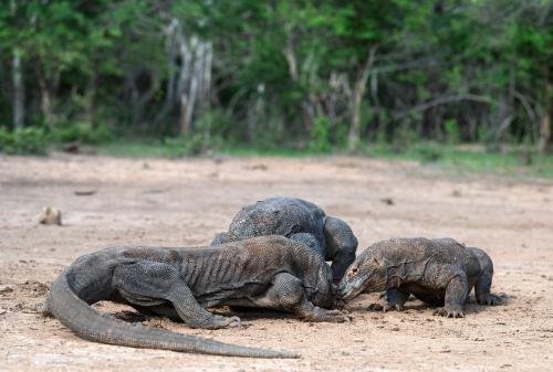 komodo carcass sharing