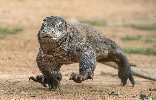 komodo chasing prey
