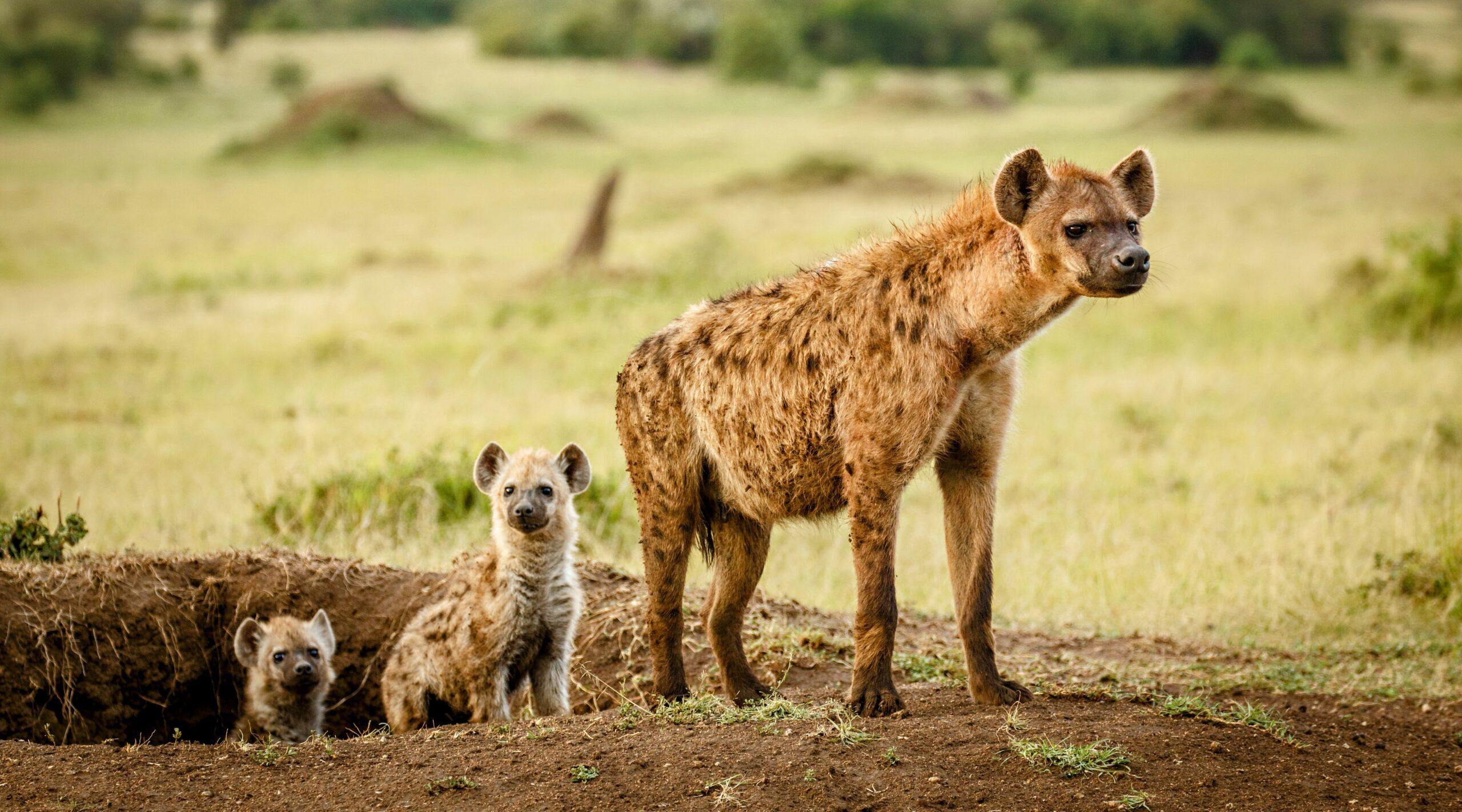 Hyenas inherit their mother's social network • Earth.com - Earth.com