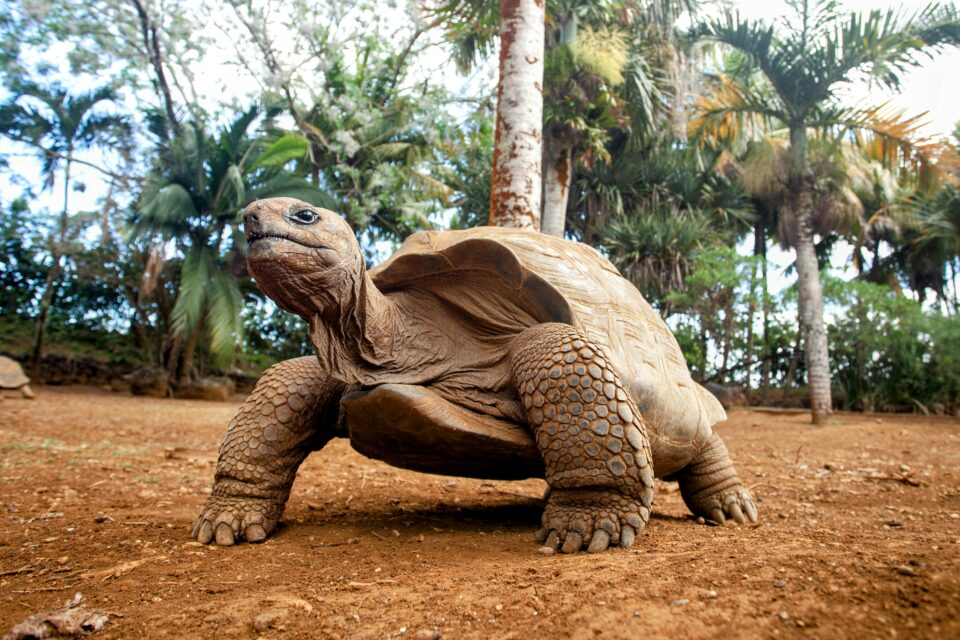 Giant Galapagos tortoises that live in human-dominated landscapes have increased levels of antibiotic resistance, according to a new study