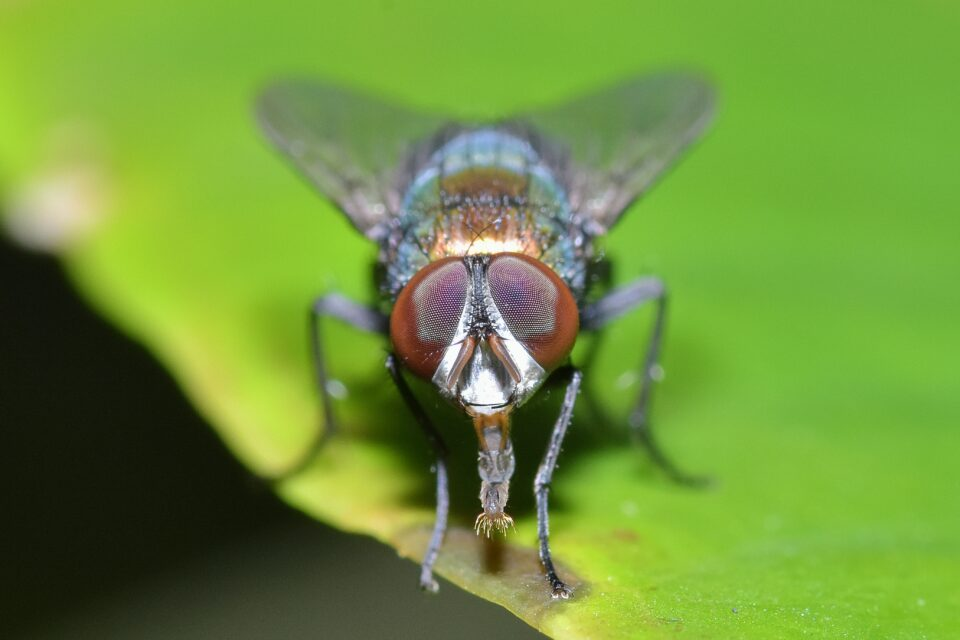 The researchers found that female tsetse flies give birth to weaker offspring as they get older, or when they feed on poor quality blood.
