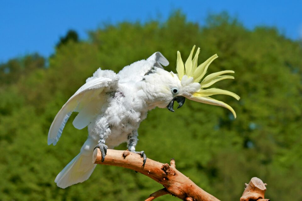 In the past couple of years, sulphur-crested cockatoos in Sydney, Australia, have learned a new skill.