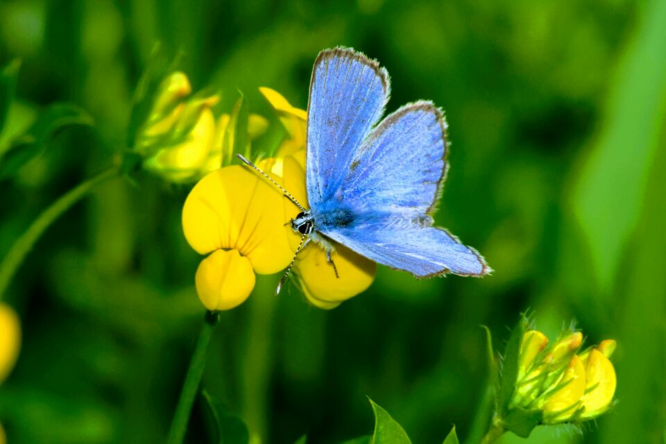 If this is true, then the Xerces blue butterfly was the first known example of an American insect species driven to extinction by human activities.