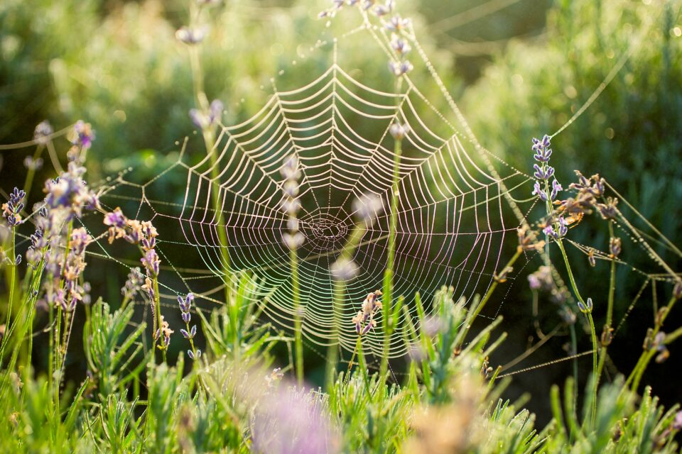 For its size, spider silk is stronger than most man-made materials, and scientists have long dreamed of a way to synthesize it.