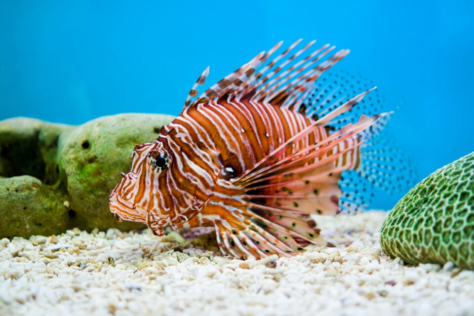 Unfortunately, when released into the wild outside of their home range, lionfish can also cause problems for local ecosystems.