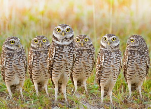 owl mimicry