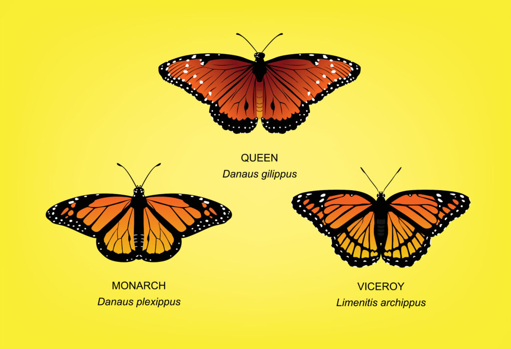 monarch mimicry