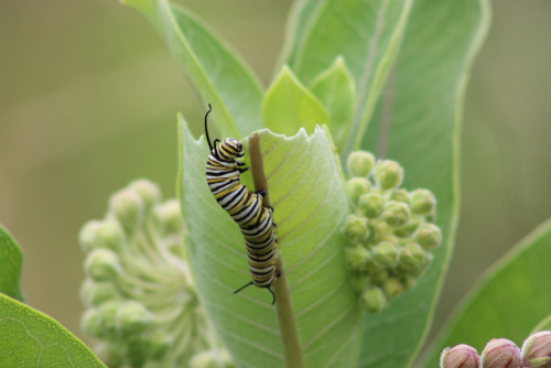 caterpillar mimicry