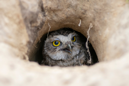burrowing owl mimicry