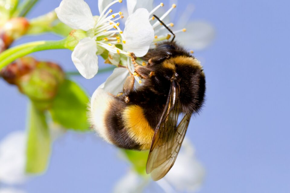 Now, in a new study published by Cell Press, scientists have found that caffeine gives bumble bees a memory boost and helps them locate specific flowers.