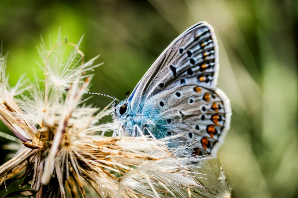 Given these circumstances, researchers from the University of Ottawa felt it would be important to study the ecology of the blue butterflies.