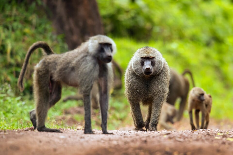 In a first-of-its-kind study, researchers fixed GPS activity trackers to baboons to examine the costs of sticking together in a group.