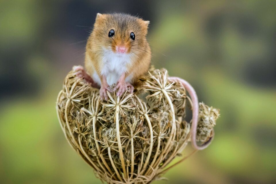 Until recently, this has been a problem with the endemic salt marsh harvest mouse (Reithrodontomys raviventris) which is found only in the tidal marshes of the San Francisco Estuary.