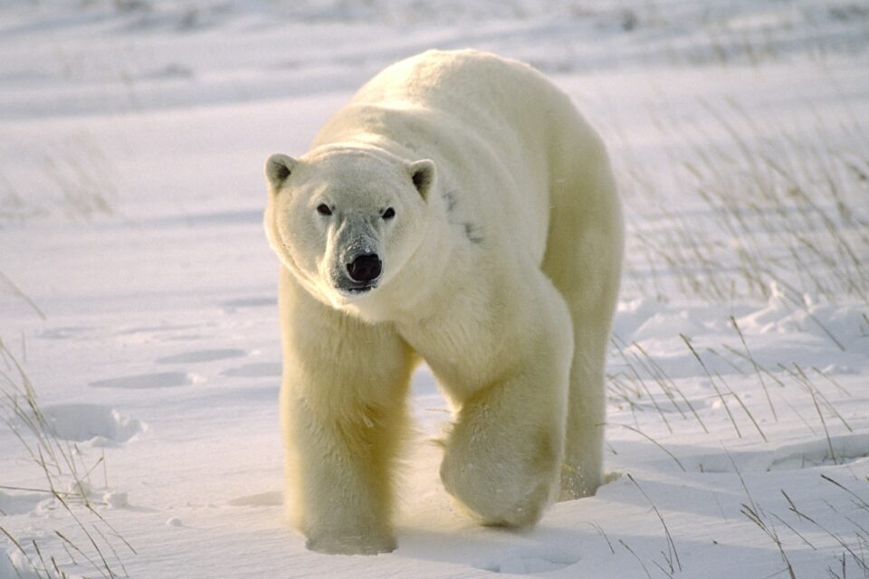 Polar bears are being exposed to the toxic chemicals used in cosmetics and non-stick pans, and this exposure is directly related to global warming,