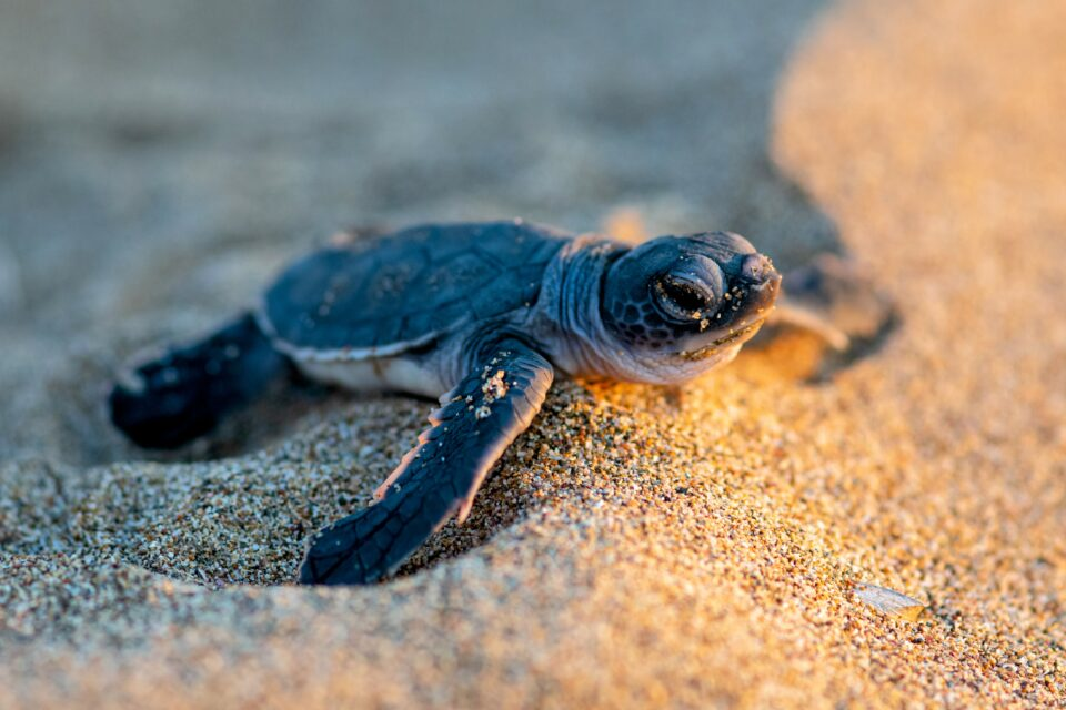 A new study published by Frontiers focuses on an especially charismatic example - baby sea turtles.