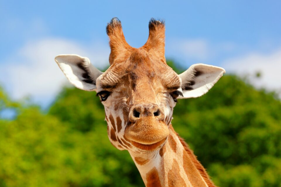While studying the behavior of giraffes, scientists at the University of Bristol have discovered that they are surprisingly socially complex animals.