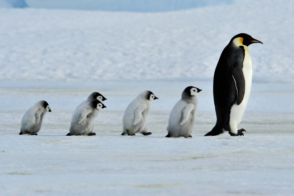 The results of a new study from the Woods Hole Oceanographic Institution suggest that emperor penguins are increasingly threatened by climate change