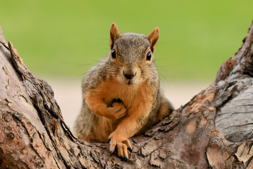 In a study published today in the journal Science, researchers from UC Berkeley report how squirrels make split-second decisions about when to leap from branches in order to secure a peanut reward