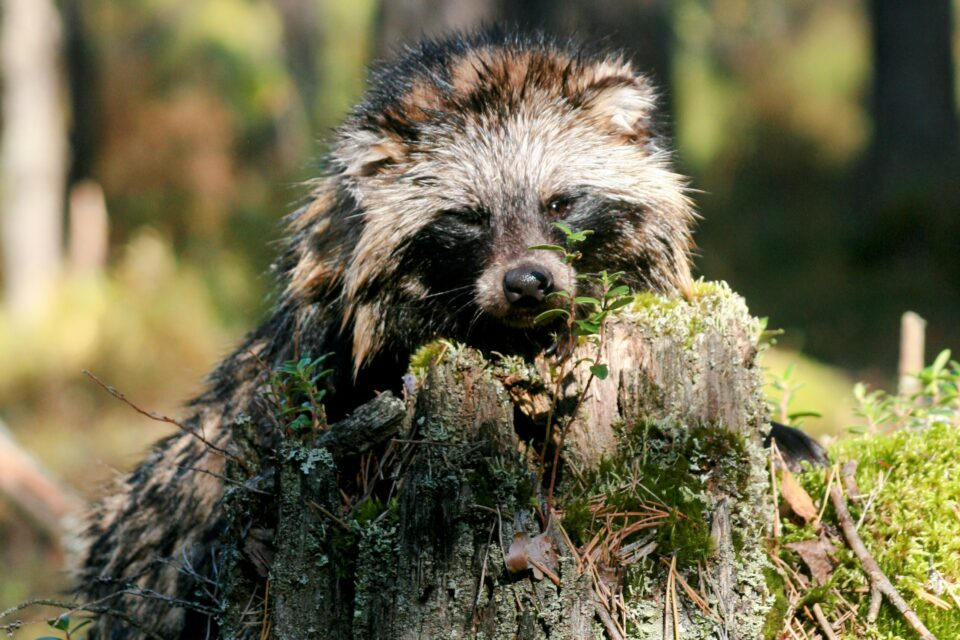 More than half of the duck species in Finland are endangered to varying degrees, and the results of a new study suggest that raccoon dogs and other invasive species are to blame