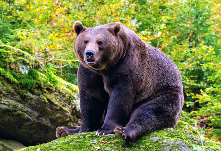 an increased used of antibiotics in medicine and agriculture between the 1950s and 1990s led to a significant rise in antibiotic resistance among Scandinavian brown bears