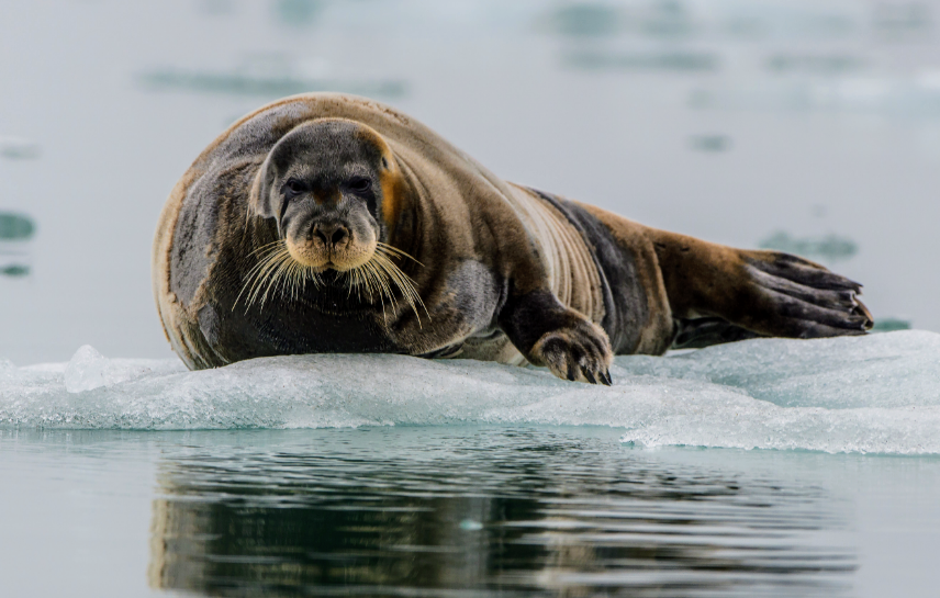 A recent study found that over the past 17 years, climate change has significantly reduced the length of the seal hunting season, threatening one of the locals' most cherished traditions