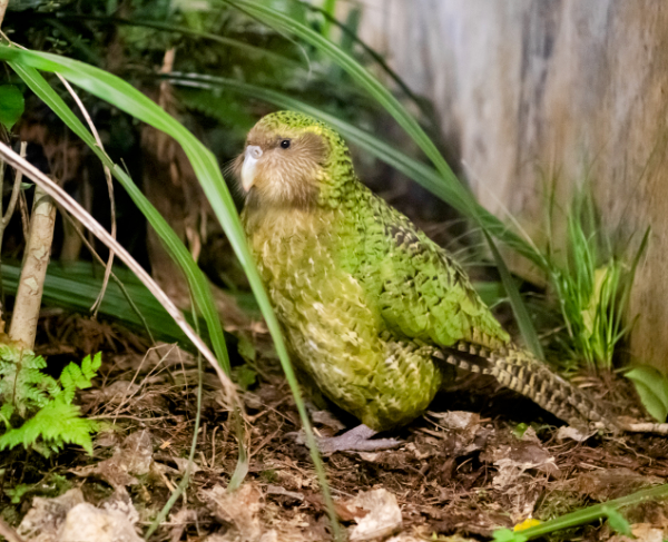 In New Zealand, endemic flightless parrots, known as kākāpō, used to number tens of thousands and were widespread throughout the mainland and offshore islands