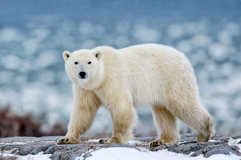 Sea ice reduction in the Arctic caused by global warming diminishes the genetic diversity of polar bears