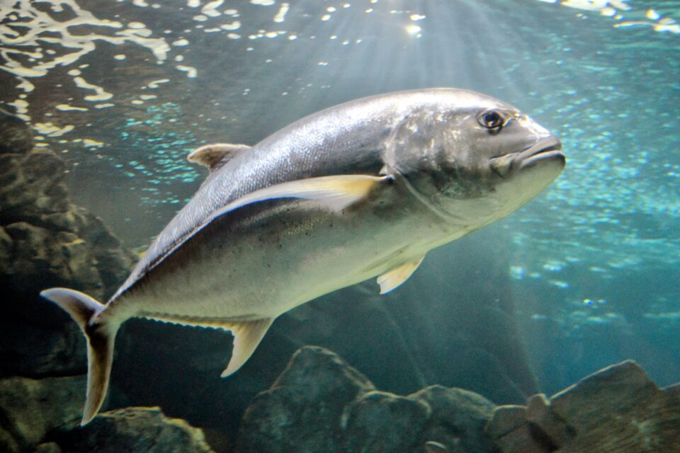 The bluefin tuna is a long-lived migratory fish that accumulates mercury in its muscle tissues as it ages.
